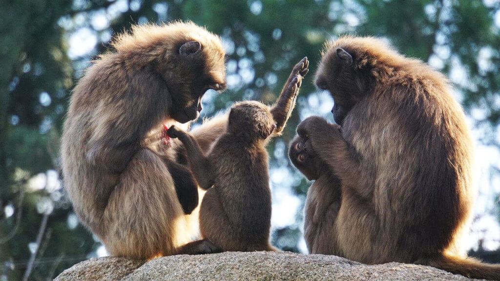 Affen Familie mit Nachwuchs