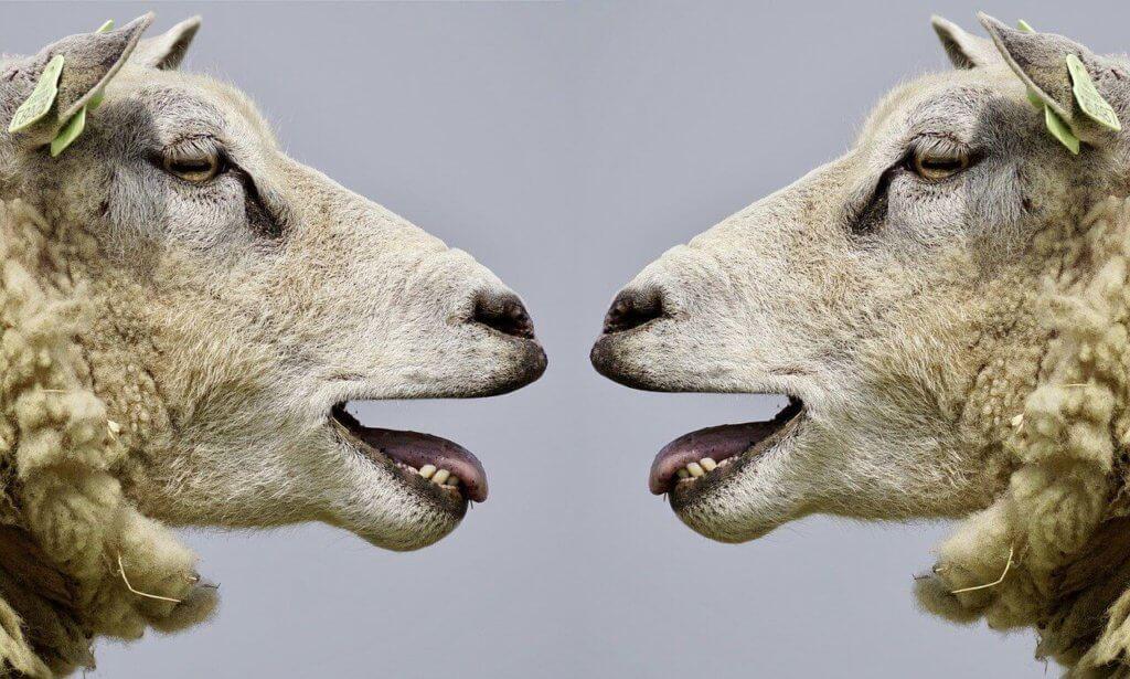 Schafe blöken